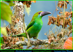 CRIMSON-RUMPED TOUCANET Aulacorhynchus haematopygus in the Treetops in the Tandayapa Valley, Ecuador. Photo by Peter Wendelken. (Neotropical Pete) Tags: toucan ecuador andes tucán toucanet crimsonrumpedtoucanet aulacorhynchushaematopygus ramphastidae tandayapa tandayapavalley ecuadorbirds aulacorhynchus southamericanbirds neotropicalbirds mygearandme photobypeterwendelken peterwendelken crimsonrumpedtoucanetphoto toucanetelomirrojo toucanete ecuadortoucans southamericantoucans crimsonrumpedtoucanetinecuador valledetandayapa crimsonrumpedtoucanetintandayapavalley