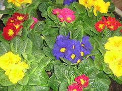 IMG_4844 (spartano2010 -By now it's summer !!!!) Tags: primavera colori marzo variopinto multicolori primulefiori