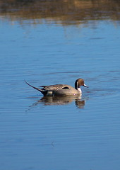Northern Pintail (Desmojosh) Tags: blue male bird water duck northern pintail