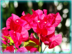 Loving them always (Give compassion to yourself) Tags: pink flowers macro nature bougainvillea southflorida pompanobeach bougainville bougainvillier 20140205florinada