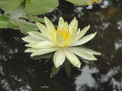 A water lily in my garden (pat.bluey) Tags: flowers reflection yellow waterlily australia newsouthwales blacktown 1001nights mygarden 1001nightsmagiccity hennysgardens sunrays5