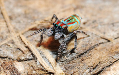 Maratus volans - senior citizen (beeater) Tags: