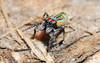 Maratus volans - senior citizen (beeater) Tags: