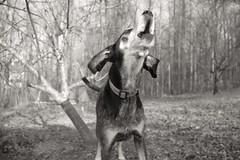 9/52 in with a roar (huckleberryblue) Tags: dog gracie hound howl bluetickcoonhound week9 52weeksfordogs