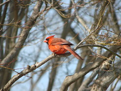 Sitting In The Red Maple (mcnod) Tags: march cardinal elkridge 2013 mcnod