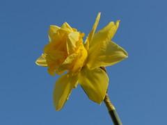 Flower of the Week squinting against the sun (Sockenhummel) Tags: flower fuji himmel daffodil fujifilm blume azur x20 frhling narcissus narzisse osterglocke azurblau fujifilmx20