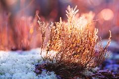 All Things Shine (c. Melon Images) Tags: morning sun grass backlight canon landscape moss flora dof floor jan bokeh january nj ground wb vegetation pinebarrens 2013 canon135mml vsco lr5 5dmarkiii