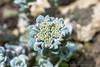 Sedum (Myrialejean) Tags: flower macro flora alpine sedum stoneflower sedumspathulifolium d7100