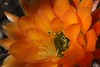 Inset Coated With Cactus Flower's Pollen (Chic Bee) Tags: arizona cactus insect tucson sonorandesert pollination southwesternusa insectidentification orangetorchcactus
