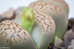 NM6A1316.jpg (Ancross) Tags: plant bud lithop 2013