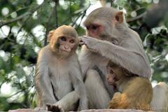 Motherhood (ArvinderSP) Tags: india photography monkey motherhood newdelhi 543 macaque naturephotography 2014 happymothersday arvindersingh arvindersp arvinderspcom