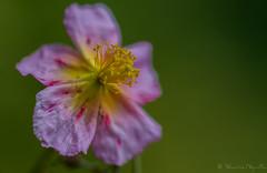 Hlianthme  grandes fleurs (sebastienpeguillou) Tags: plant flower macro fleur closeup flora nikon tamron 90mm flore macrophotography macrophotographie d3200 hlianthme
