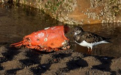 Lobster supper (cdwpix) Tags: winter beach dinner sand tide january lobster supper seashore rockpool eastyorkshire turnstone wader