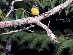 (Verônica C.M) Tags: bird photography fotografie lindo fotografia oi ola vogel amadora schöner bentivi amateurfotografie
