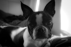 DSC_0243 (bendaybrosnan) Tags: dog boston puppy bostonterrier dizzy dizzie
