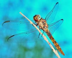 The Smile (vgphotoz) Tags: blue arizona sky macro nature nikon dragonfly insects nikkor outstandingromanianphotographers vgphotoz