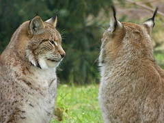 Naturwildpark Granat - Lynxes (joeke pieters) Tags: ngc npc lynx luchs eurasianlynx lynxlynx platinumheartaward naturwildparkgranat panasonicdmcfz150 1200118