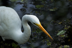 Great Egret (jpmathisphoto) Tags: southwest bird water florida great swamp cypress six egret mile
