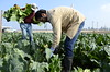 organic-cauliflower-harvest-02-19-15gt_DSC6963 (Jordan College of Ag Sciences and Technology) Tags: plant state science fresno cauliflower organic nitrogen josue cit leaching nitrate samano