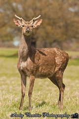 2016-05-04-047 (Andy Beattie Photography) Tags: uk england nature mammal photography europe photographer wildlife yorkshire deer halifax ungulate northyorkshire westyorkshire ripon eventoed pecora cervusnippon sikadeer hoofed andybeattie andybeattiephotography