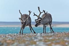 276 Day 3 Svalbard (brads-photography) Tags: two walking reindeer rocks wildlife svalbard arctic caribou grazing spitsbergen rangifertarandusplatyrhynchus ingeborgfjellet