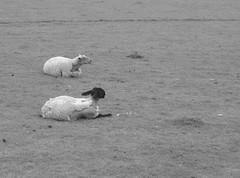 _DSC9985 (Eiran Lapham) Tags: bus church field leaves stone wall garden spring phone sheep box wal critique penzance stjust penwith critiquemyphotos