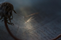 One Last Wish (Captured Heart) Tags: dandelion wishes dandelionseeds