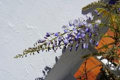 La plume bleue - The blue plum (p.franche) Tags: blue brussels flower tree nature fleur vintage belgium minolta sony bruxelles bleu beercan dxo brussel arbre hdr schaarbeek schaerbeek glycine minoltalens sonyalpha100 flickrelite objectifminolta