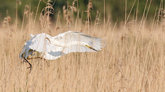 Great white egret #2 of 3 (Steve Balcombe) Tags: uk morning light white bird reeds alba great somerset ardea egret levels reedbed rspb hamwall avalonmarshes
