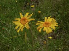Arnika (aletscharena) Tags: schweiz sommer wallis bettmeralp unescowelterbe alpenblumen alpenkruter aletscharena