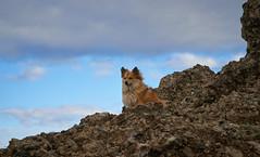 4mai_Thorbjorn_042 (Stefn H. Kristinsson) Tags: dog mountain dogs iceland spring hiking may ma vor hundur sland ganga fjallganga tamron2875mm grindavk hundar grindavik orbjrn nikond800 thornbjorn orbjarnarfell