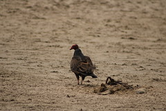 IMG_4565 (californiajbroad) Tags: bird nature turkey outdoors wildlife vulture