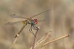 Sympetrum fonscolombii. (isabellebienfait1) Tags: dragonfly libellule sympetrumfonscolombii