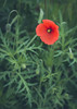 Poppy and poppy buds (WillemijnB) Tags: red flower green nature fleur rouge groen natuur vert poppy buds bud rood klaproos coquelicot bloem knoppen bouton knop boutons klatschrose kornrose