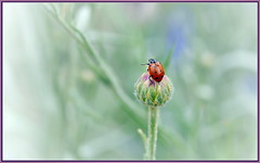 Spot Check (tdlucas5000) Tags: flowers red flower macro green closeup bokeh ladybug ladybugs cornflowers sigma105 bluecornflower creamybokeh