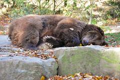 DSC_0291 (d90-fan) Tags: autumn animals tiere herbst hirsch braunbr brownbear geier waschbr wolfes luchs badmergentheim wlfe