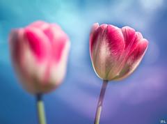 Flower Power-Part VI (roland_lehnhardt) Tags: flowers light shadow licht spring dof tulips bokeh blumen makro schatten tulipa frhling tulpen flowersgroup lilioideae