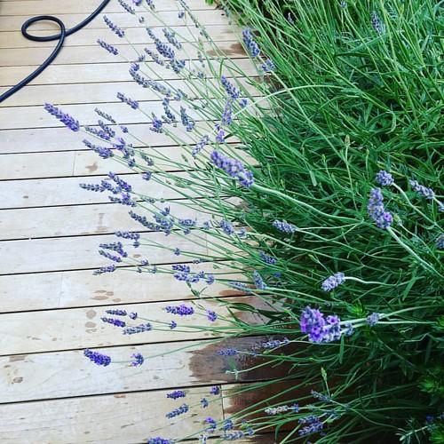 #blumen #giesen #garten #green #flowers #levander #grass #nature