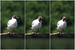 The Three Tenors (fstop186) Tags: wild portrait nature fun funny triptych action wildlife crying olympus humour panasonic calling captions vocal blackheadedgull em1 shrieking threetenors lumixgvario100300mmf456megaois