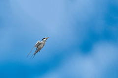 Least Tern in flight (Ed Rosack) Tags: leasttern usa flight bird edrosack 35gullsternsandskimmers centralflorida cocoa florida bif lete sternulaantillarum cocoabeach