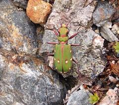 Green Tiger Beetle - Cicindela campestris (SAMARA:) Tags: insect scotland beetle may invertebrate cicindelacampestris glentrool greentigerbeetle caldons
