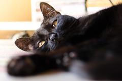 Oussie (nfaraldos) Tags: blackcat relax eyes ojos paws gatonegro patitas petphotography gattonero fotografademascotas