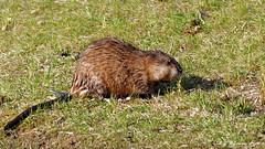 Muskrat-All-Wet (Aria (RJWarren)) Tags: nature animal canon rodent midwest day outdoor wildlife iowa muskrat t3i ondatrazibethicus ankeny tamron150600mm