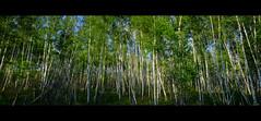 Birchbark (DHaug) Tags: forest spring grove ottawa icon panoramic canadian canoe foliage velvia fujifilm birch aboriginal cinematic birchbark yow 2016 voyageur xpro2 bowesville