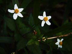 pequeninas e ordinrias (Gigica Machado) Tags: flor fleur flower whiteflower florbranca nature natureza photography brasil inverno dark escuro pic