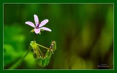 Flor silvestre (Josinisam) Tags: copyright flores valladolid silvestre fotografos medinaderioseco nikond7000 fotografosdevalladolid josinisam joseignaciosantamaria