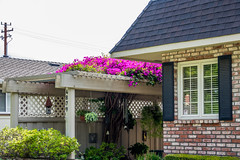 Happy Window Wednesday (randyherring) Tags: california ca pink flowers plants house green window garden us flora afternoon unitedstates outdoor bricks sanjose brickwall bloom blooming landscaped