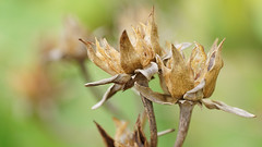 Native Hibiscus Seed Pods (judith511) Tags: seedpods nativehibiscus bronzecottonwood hibiscustiliaciousrubra