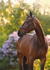 Dressage Horse (Hestefotograf.com) Tags: summer horse white norway caballo cheval cavalo pferd stallion whitehorse equine equus paard purarazaespanola hestefotograf