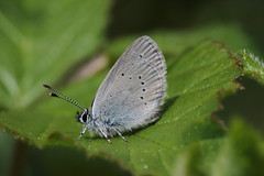 Small Blue (Chris B@rlow) Tags: blue macro nature canon outdoors scotland wildlife butterflies insects lepidoptera scottishborders littleblue smallblue bluebutterflies cupidominimus canon7d
